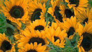 วันดอกทานตะวัน 14 ก.ค. มีไว้เพื่อระลึกถึง ดาวเทียมสำรวจสภาพอากาศ