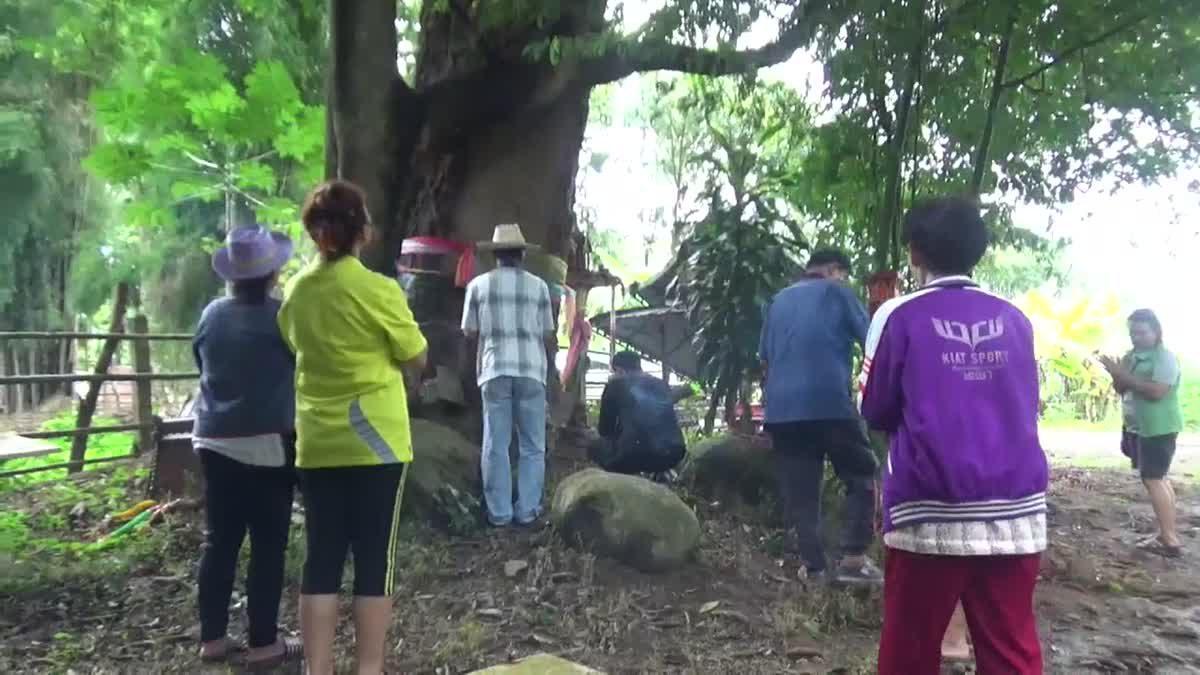 ชาวบ้านแห่ส่องหาเลขเด็ด โชคต้นมะม่วงโบราณอายุ 500 ปี