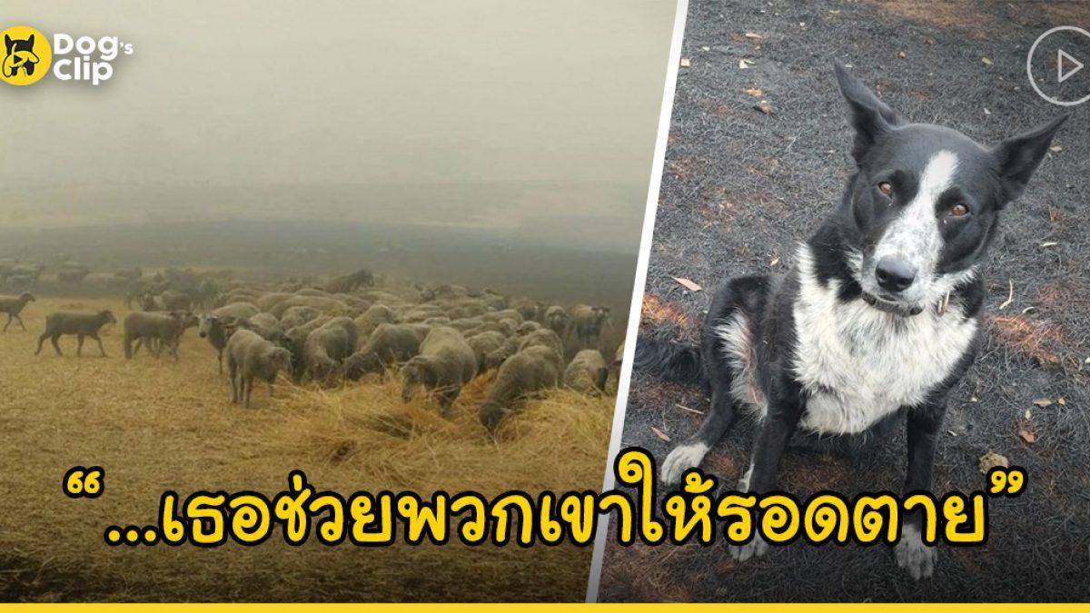 น้องหมาฮีโร่ช่วยไล่ต้อนฝูงแกะของเจ้านายให้วิ่งหนีห่างจากแนวไฟป่าที่ออสเตรเลียจนรอดตายยกฝูง