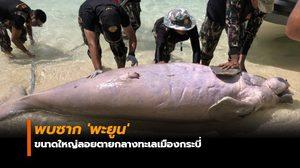 พบซาก 'พะยูน' ขนาดใหญ่ลอยตายกลางทะเลเมืองกระบี่