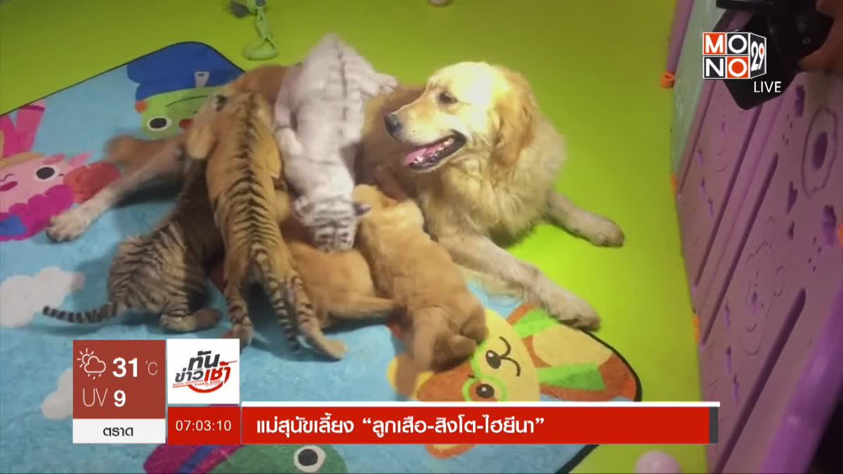 """แม่สุนัขเลี้ยง """"ลูกเสือ-สิงโต-ไฮยีนา"""""""