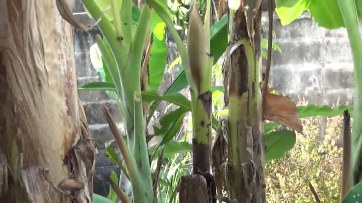 ฮือฮา! กล้วยน้ำหว้าออกปลีที่ปลายต้นเจ้าของตัดตายแล้วกว่า 5 เดือน