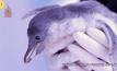 เพนกวินที่เกิดจากการผสมเทียมตัวแรกของโลกในญี่ปุ่น