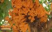 เชียงใหม่-ดอกปีบทองบานสะพรั่ง ชาวบ้านเก็บทอดกิน