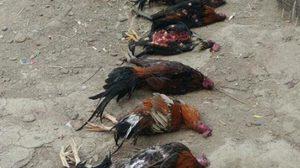 คนรักไก่ร้องขอความยุติธรรม หลังสุนัขบุกกัดไก่ชนตายเกือบยกเล้า