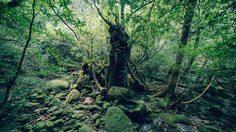 Shiratani Unsuikyo ป่าดึกดำบรรพ์ มรดกโลกทางธรรมชาติ ในญี่ปุ่น
