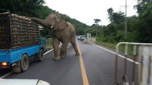 น้องฉวยโอกาส! ช้างบุญช่วย เข้าดักรถขอกินสับปะรด ขณะเจ้าหน้าที่ตั้งจุดตรวจ