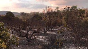 เกษตรกรโพสต์ตัดพ้อ ไฟเผาอ้อยลามไหม้ลำใยวอด แต่ผู้นำท้องถิ่นเมินช่วยดับ
