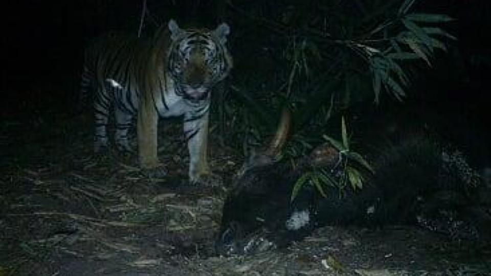เผยแล้ว มือฆ่ากระทิงป่าแม่วงก์ ที่แท้เสือห้วยขาแข้งล่าเหยื่อ