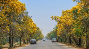 ถนนดอกไม้แสนสวย ตาเบบูญ่า (เหลืองปรีดียาธร) จ.สุพรรณบุรี บานสะพรั่งแล้ว