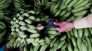 เจอแล้ว! กล้วยติด GPS พบสัญญาณโผล่ตลาดผลไม้ปากแซง