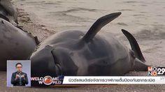 นิวซีแลนด์ เร่งจัดการวาฬเกยตื้น ป้องกันซากระเบิด