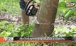 เริ่มตัดต้นยางพารารุกพื้นที่ป่า จ.เชียงใหม่