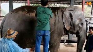 ทำสปาโคลนสมุนไพรให้ช้าง ช่วยผ่อนคลายสบายใจ