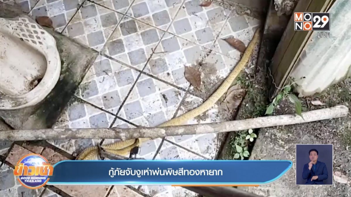 กู้ภัยจับงูเห่าพ่นพิษสีทองหายาก