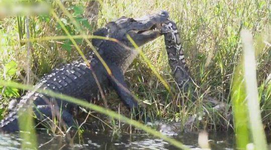 โหดได้อีก นาทีไอ้เข้เขมือบงูยักษ์ยาว 17 ฟุต กันเน้นๆ อย่างงี้ไม่มีรอด!
