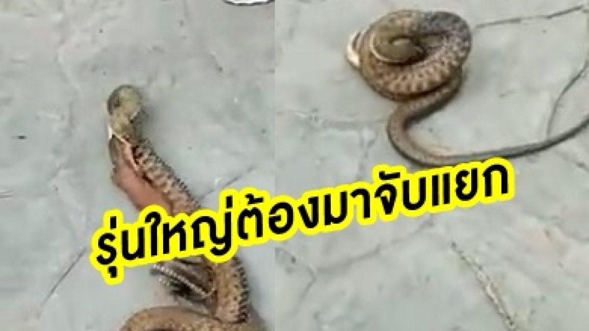 นาทีเป็นตาย! จิ้งเหลนโดนงูเขมือบ ร้อนถึงมือรุ่นใหญ่ต้องมาจับแยก