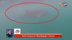 เปิดกฎหมาย ห้ามจับ-ฆ่า 'ฉลามวาฬ' มีโทษปรับสูงสุด 3 ล้านบาท