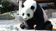 สวนสัตว์เชียงใหม่ เผยต้องรอ จนท.จีน ร่วมสอบสาเหตุการตายของ 'ช่วงช่วง'