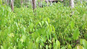 เกษตรกรชาวสงขลา ปลูกผักเหลียงในสวนยาง สร้างรายได้ถึงหลักหมื่นต่อเดือน