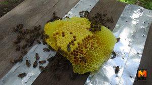 หนุ่มหัวใส สกัดกลิ่นล่อผึ้งป่าเป็นผึ้งบ้าน ผลิตน้ำผึ้งแท้ออกสู่ตลาด ฟันรายได้ปีละล้าน