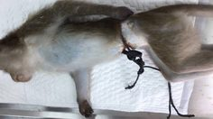 ลิงแสมถูกสายไฟรัดได้รับบาดเจ็บ ล่าสุดสัตวแพทย์รักษาอาการแล้ว