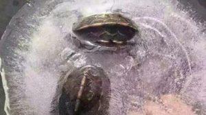 จีนหนาวหนักมาก! เต่าในน้ำปกติ กลายเป็นเต่าแช่แข็ง