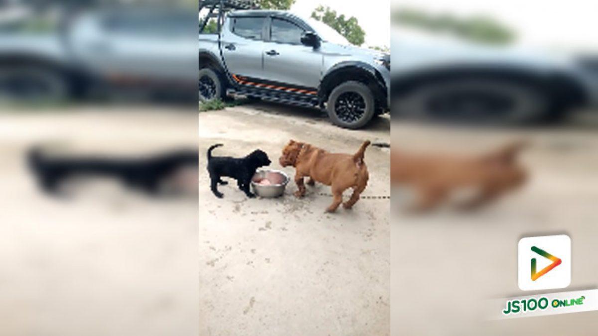 เจ้าสุนัขตัวน้อยสุดโหดขู่สุนัขตัวใหญ่ เอาซะหงอยกันเลยทีเดียวเชียว (17-10-61)