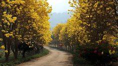 ไปถ่ายรูป! ดอกเหลืองอินเดีย เบ่งบานเต็มถนน ที่ทุ่งช้าง จ.น่าน