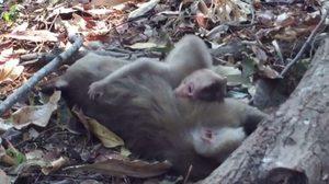 เปิดคลิปเศร้า! เจ้าลิงน้อยร้องเสียงดังคร่ำครวญ กอดร่างไร้วิญญานแม่