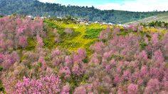 ภูลมโล 2562 หุบเขาสีชมพูแห่งซากุระเมืองไทย