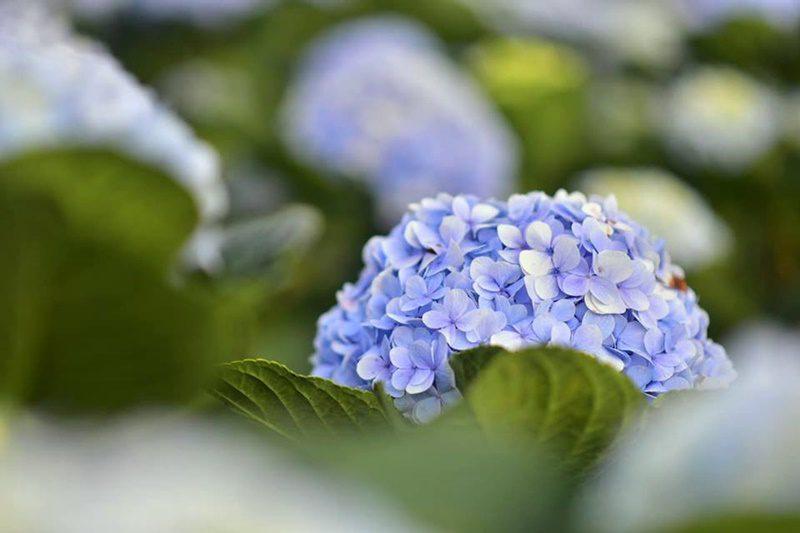 ทุ่งดอกไฮเดรนเยียโครงการหลวงขุนแปะ