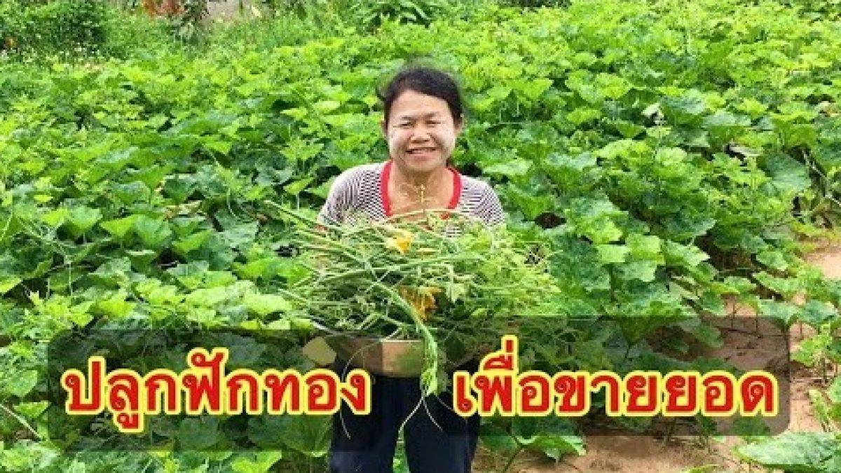 วิธีปลูกฟักทอง เพื่อขายยอด (How to grow pumpkin to eat the young shoots / 如何种植南瓜)