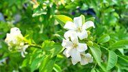 5 ต้นไม้ดอกสีขาว ปลูกในบ้าน เพิ่มความสดชื่น ผ่อนคลาย สบายตา