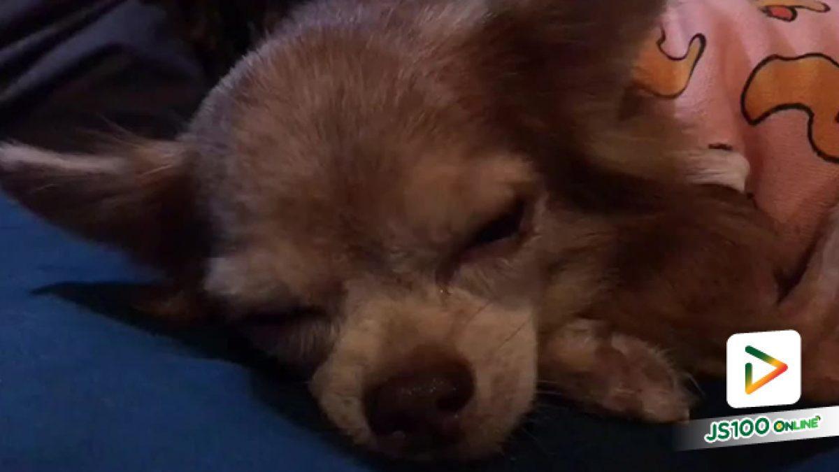 พลเมืองดีพบสุนัขพันธุ์ชิวาวา พลัดหลงที่สถานีรถไฟฟ้าเตาปูน ผู้ใดเป็นของแจ้งจส.100 โทร *1808 หรือ 1137