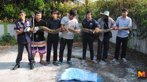 ผวา! งูหลามยักษ์ยาวกว่า 3 เมตรเลื้อยเข้าบ้านคอหวยแห่ตีเลขเด็ด