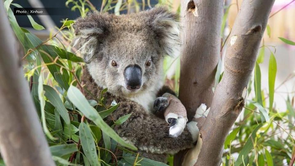 'โคอาลา' บาดเจ็บจากไฟป่าในออสเตรเลีย กลับคืนสู่ป่าแล้ว