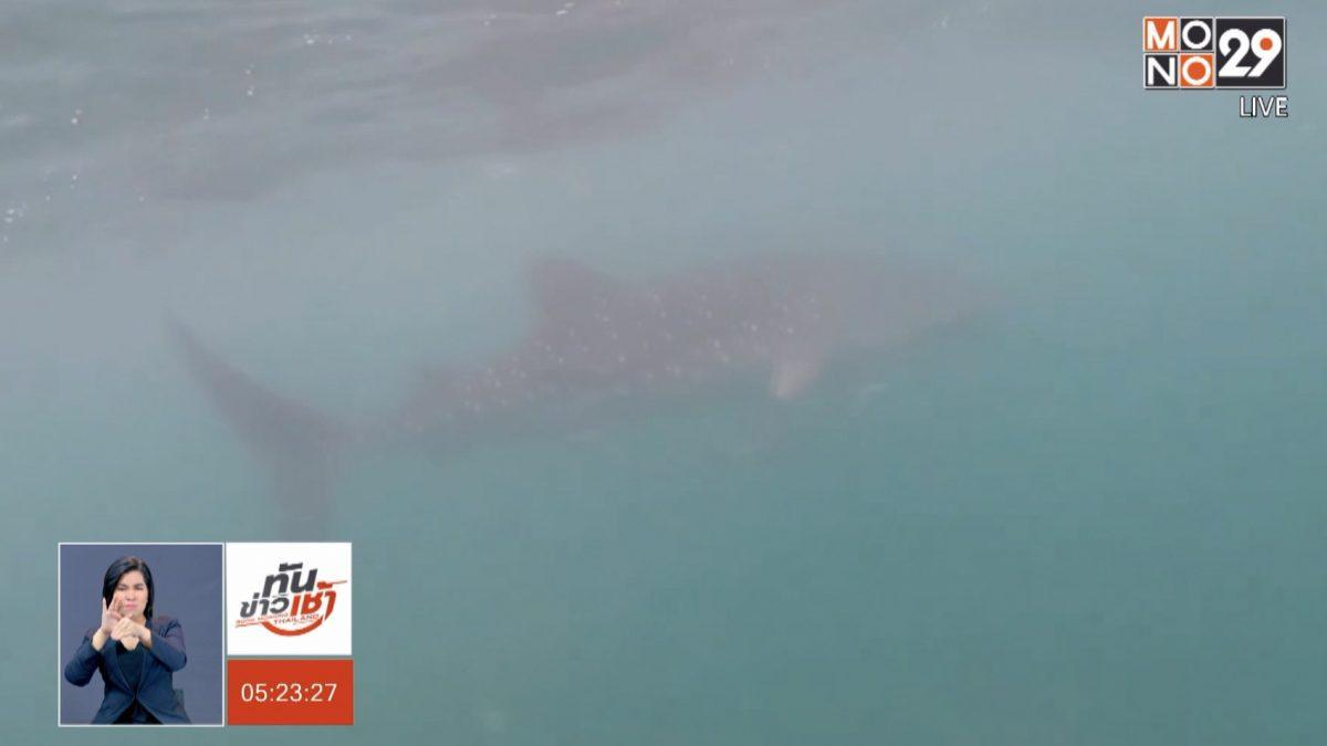 พบฉลามวาฬ 4 ตัว โผล่ทะเลประจวบฯ