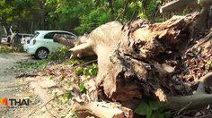 ต้นโพธิ์ยักษ์ใน มช. โค่นทับรถยนต์พังเสียหาย