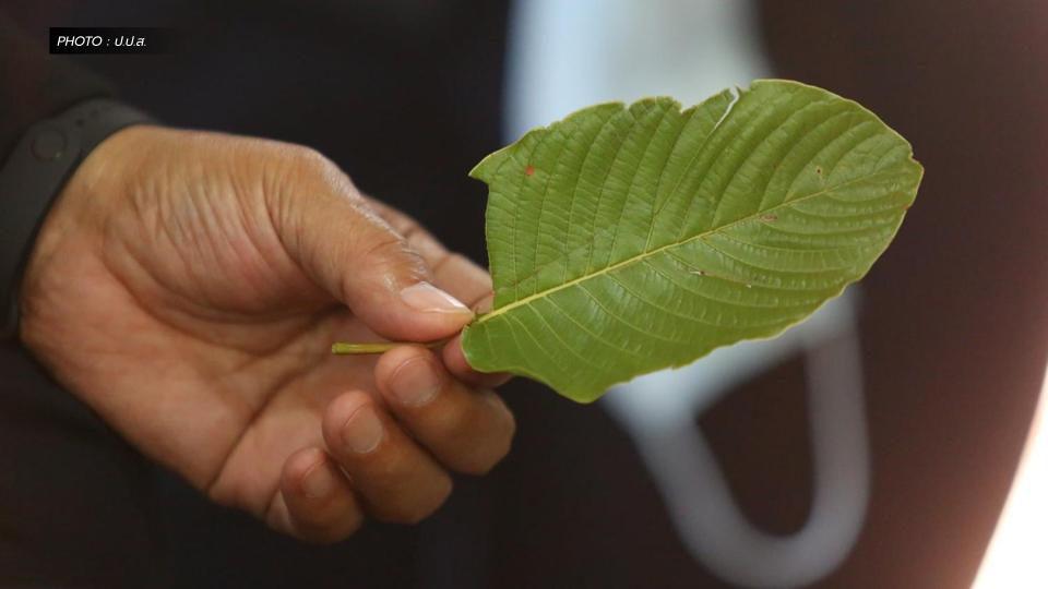 ปลด 'พืชกระท่อม' ออกจากยาเสพติดให้โทษมีผล 24 ส.ค.นี้ ซื้อ-ขายได้