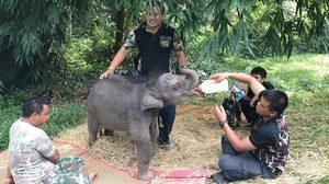 """ลูกช้างป่าขี้อ้อน """"น้องชบาแก้ว"""" ต้องได้กินนมช้าง กรมอุทยานฯ เร่งหาช้างแม่ลูกอ่อน"""