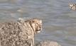ช่วยสิงโตขึ้นจากทะเลในอินเดีย