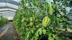 วิธีปลูกแตงโม สูตรเกษตรอินทรีย์ไว้กินเองในรั้วบ้าน
