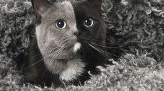 เจ้าเหมียว นาร์เนีย (Narnia) แมวหน้า 2 สี ที่ใครๆ ก็หลงรัก