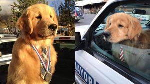 นายกเทศมนตรีเมืองนี้น่ารักที่สุดในโลก Maxสุนัขโกลเด้นรีทรีฟเวอร์
