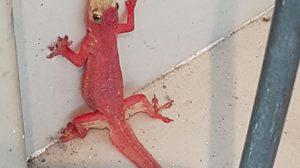 คอหวยได้ลุ้น พบจิ้งจกประหลาดตัวสีแดง โผล่ที่เมืองกระบี่