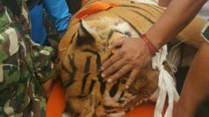 คนแห่ดู นาทีจับเสือตัวเป็นๆ หลังมันนอนบาดเจ็บอยู่กลางไร่มัน