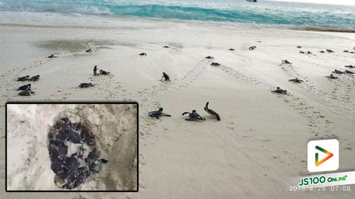 คลิปลูกเต่า 77 ตัวที่เพิ่งเกิดเมื่อวาน และในตอนเช้านี้มุ่งหน้าลงทะเลสิมิลัน (24-04-61)