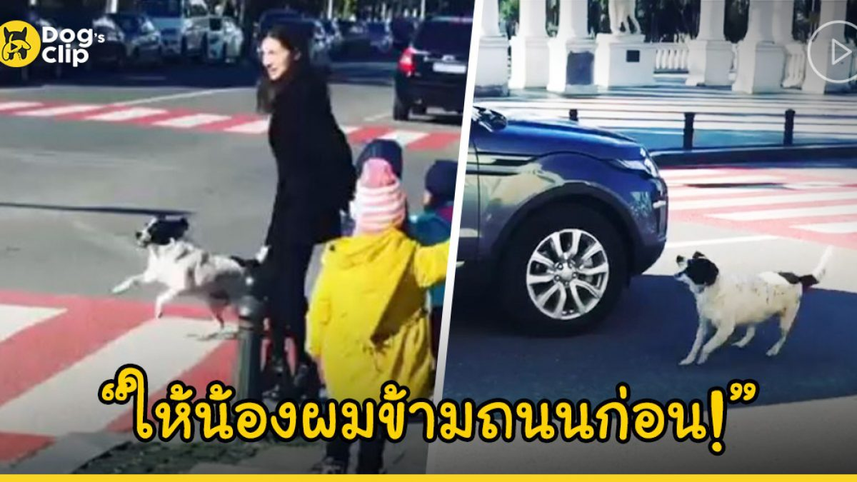 น้องหมาจรจัดแสนรู้ วิ่งเข้าไปเห่าให้รถหยุด เพื่อช่วยให้เด็กอนุบาลข้ามถนน