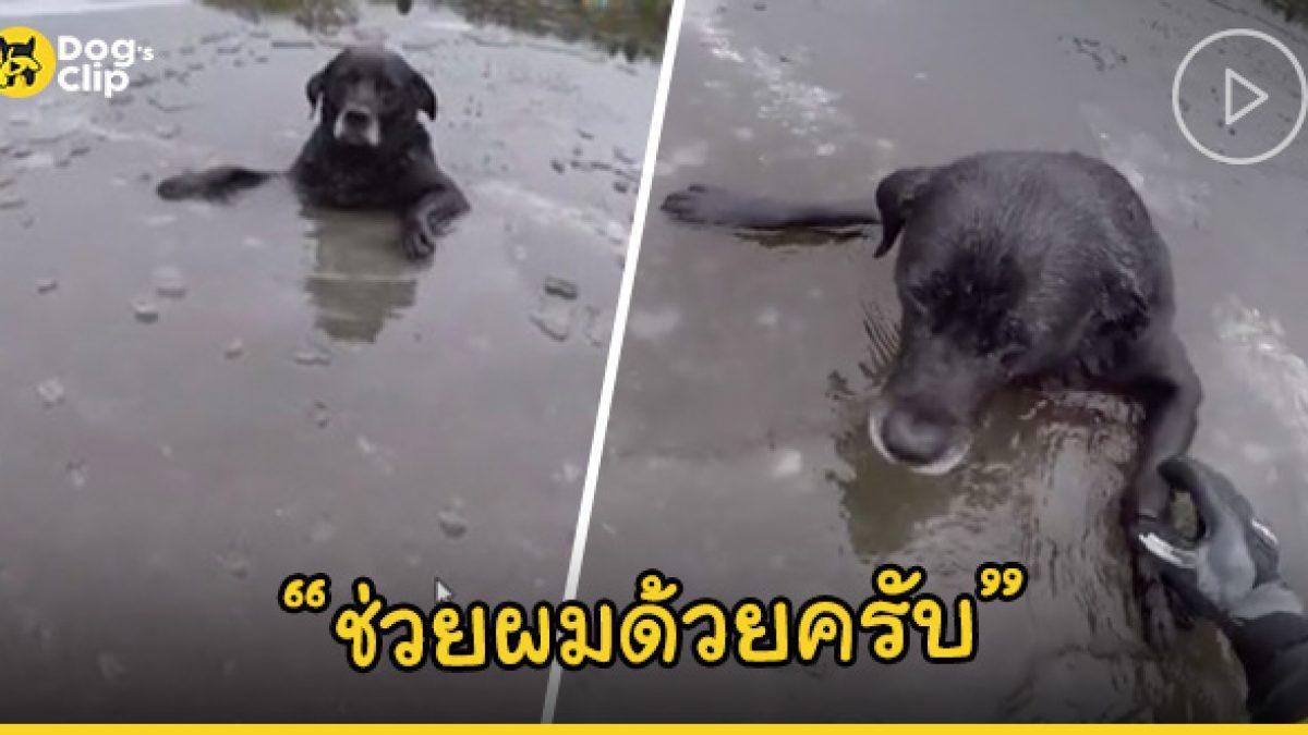 น้องหมาลาบราดอร์ตัวติดกลางแม่น้ำที่กลายเป็นน้ำแข็ง โชคดีได้เจ้าหน้าที่เสี่ยงชีวิตเข้าช่วยเหลือจนรอด